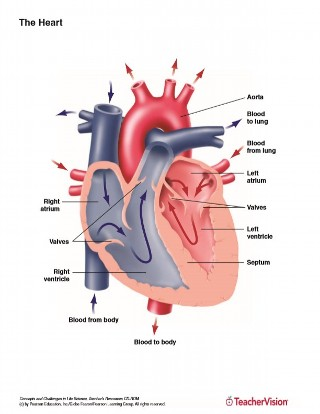 Full color labeled anatomy diagram of the human heart
