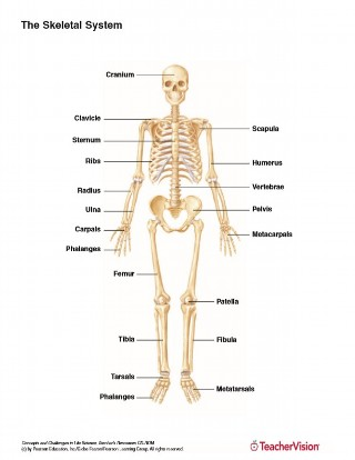 The Skeletal System Teachervision