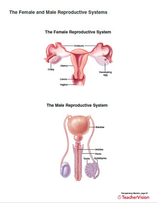 The female and male reproductive systems teachervision ccuart Image collections