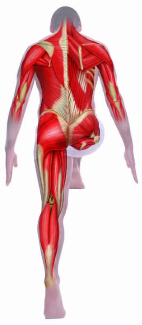 Rear Muscles in the Human Body