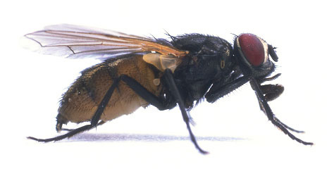 Housefly (Side View)