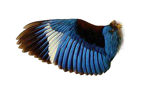 Kingfisher Wing