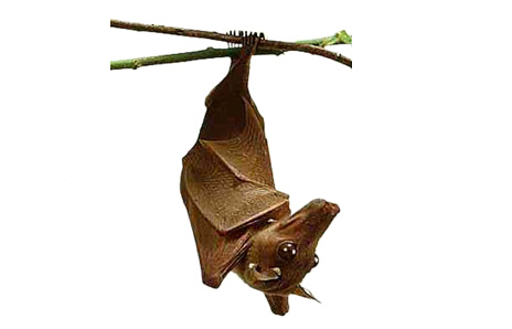 Epauletted Bat
