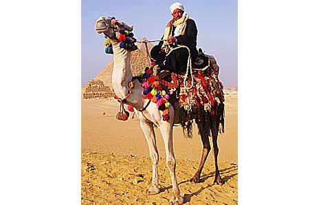 Egyptian On A Camel