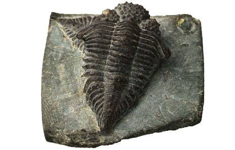 Trilobite from Cambrian Period