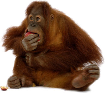 Orangutan Eating