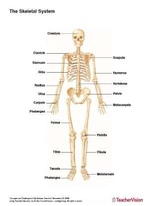 Full Color Labeled Printable of the Human Skeletal System