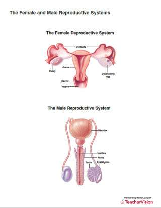 Full-color printable for human reproductive system